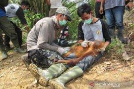 Satu orangutan diselamatkan dari perkebunan sawit