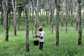 Harga karet petani Aceh Barat fluktuatif