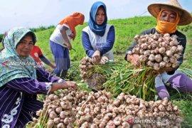 Bulog siapkan anggaran impor bawang putih Rp500 miliar