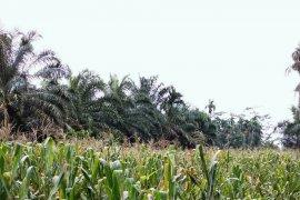 Pertanaman jagung Langkat ditargetkan 25.972 hektare