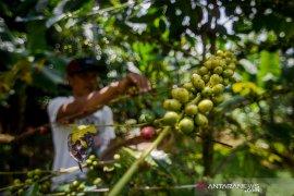 Produktivitas kopi di Indonesia masih rendah