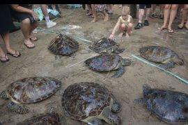18 Penyu Hijau dilepasliarkan di Pantai Kuta