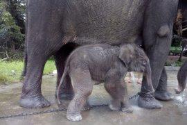 Selamat, Bunga melahirkan anak gajah jantan hari ini