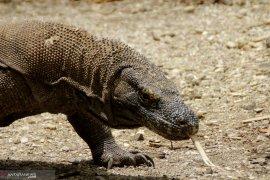 Komodo aset penting bagi Indonesia