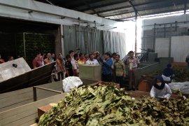 Kalsel Pelopor ekspor daun Gelinggang ke Jepang