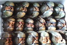 Kepiting bakau hidup Maluku digemari konsumen Singapura dan Malaysia