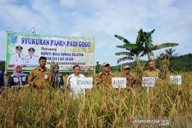 Bekas galian tambang menjadi lahan pertanian Padi Gogo