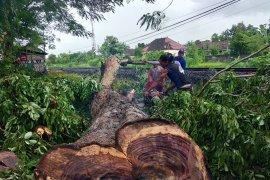 Puluhan pohon sonokeling dijarah, PPLH Mangkubumi mengadu ke gubernur
