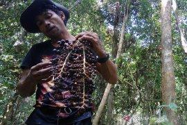 Petani Riau tanam Jernang sekaligus lestarikan hutan