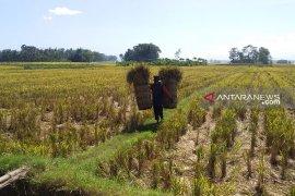 Luas panen di Jember hingga April 2019 capai 43.124 hektare