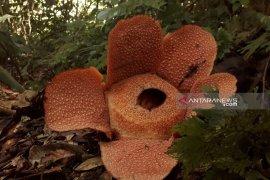 Polhut temukan Rafflesia mekar di TWA Seblat