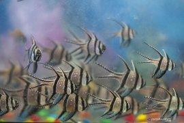 Kembangkan potensi ikan hias Kemenko Maritim dukung Nusatic 2019