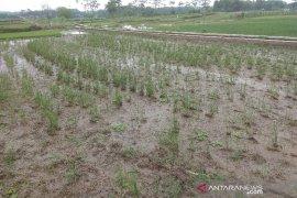 TNI dari Sanggau dampingi petani antisipasi serangan hama di padi