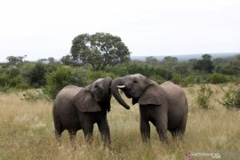 Diduga terserang penyakit antraks,  ratusan gajah di Botswana mati