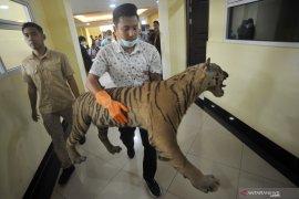 Buruh sedang panen akasia di Riau tewas diterkam harimau