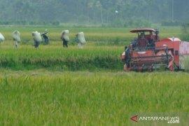 Hasil panen padi varietas M400 rugikan petani Abdya