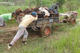 Pendapatan petani plasma  sawit di Kotabaru fluktuatif