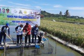 KKP-Kementan kembangkan teknologi panen padi dan udang windu bareng
