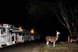 Taman Safari siapkan ngabuburit tunggangi kuda poni