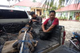 BKSDA Agam lepasliarkan buaya muara tangkapan warga