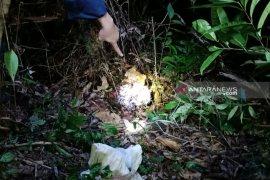 Seorang warga diduga tewas diterkam harimau di kebun