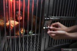 Bayi Orangutan Taman Safari Prigen