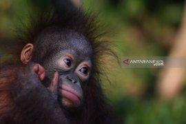 Bayi Nadia tambah populasi Orangutan di Taman Safari Prigen (Video)