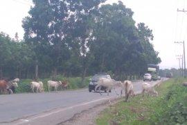 Polisi bantu tertibkan ternak di Jalinsum Mukomuko