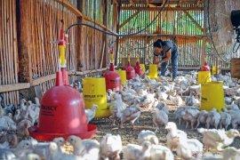 Harga anjlok, peternak ayam ilegal di Jateng akan ditertibkan