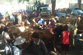 Jelang Idul Adha, harga daging sapi hidup di Situbondo merangkak naik