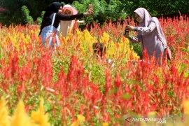 Wisata taman bunga celocia Aceh Jaya