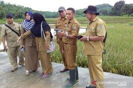 Lahan Padi 25 Ha di Paser Gagal Panen karena banjir
