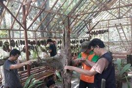 KPH Tabalong selamatkan anggrek Meratus agar tak punah