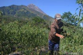 BPPTKG: pertumbuhan kubah lava Gunung Merapi stabil