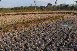 Ratusan hektare sawah di Magetan, Jatim terdampak kekeringan