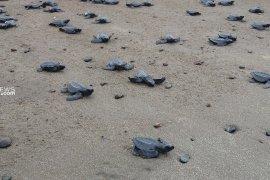 Warga Malumkarta Sorong, Papu Barat lepas 1.292 tukik penyu ke laut