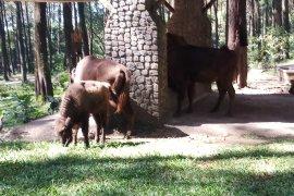 Taman Safari Prigen tambah koleksi tiga Bison Eropa-Amerika (Video)