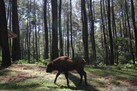Anak bison Taman Safari Prigen