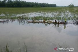 900 hektare sawah di Kecamatan Babulu terendam banjir