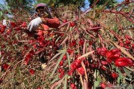 Petani tembakau beralih tanam rosela