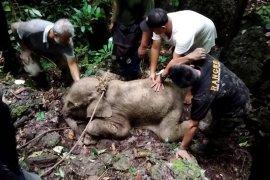 Anak gajah ditemukan terjerat di Aceh Timur