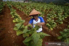 Prediksi produksi tembakau
