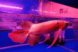 Ratusan ikan arwana super red siap berlaga di  Kapuas Hulu