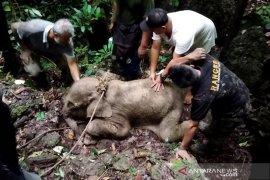 Kondisi anak gajah yang luka akibat terjerat mulai membaik