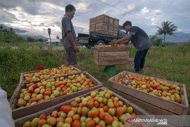 Petani Sigi, Sulteng panen raya tomat