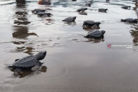 Ratusan tukik menyebar ke laut Raja Ampat