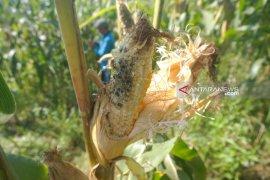 Tikus  serang tanaman jagung petani lereng Gunung Wilis