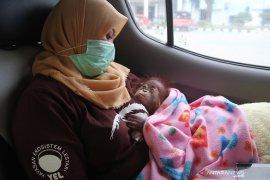 Orangutan korban penyelundupan di Riau dikirim ke Sibolangit