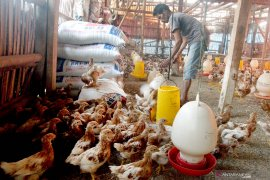 Harga ayam potong di Baturaja Sumatera Selatan anjlok