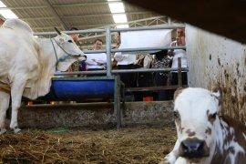 Mentan catat populasi sapi potong meningkat